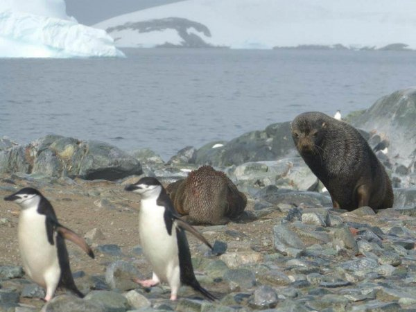 Chinstrap penguins and Fur Seals.