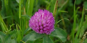 Red Clover can help with hot flushes.